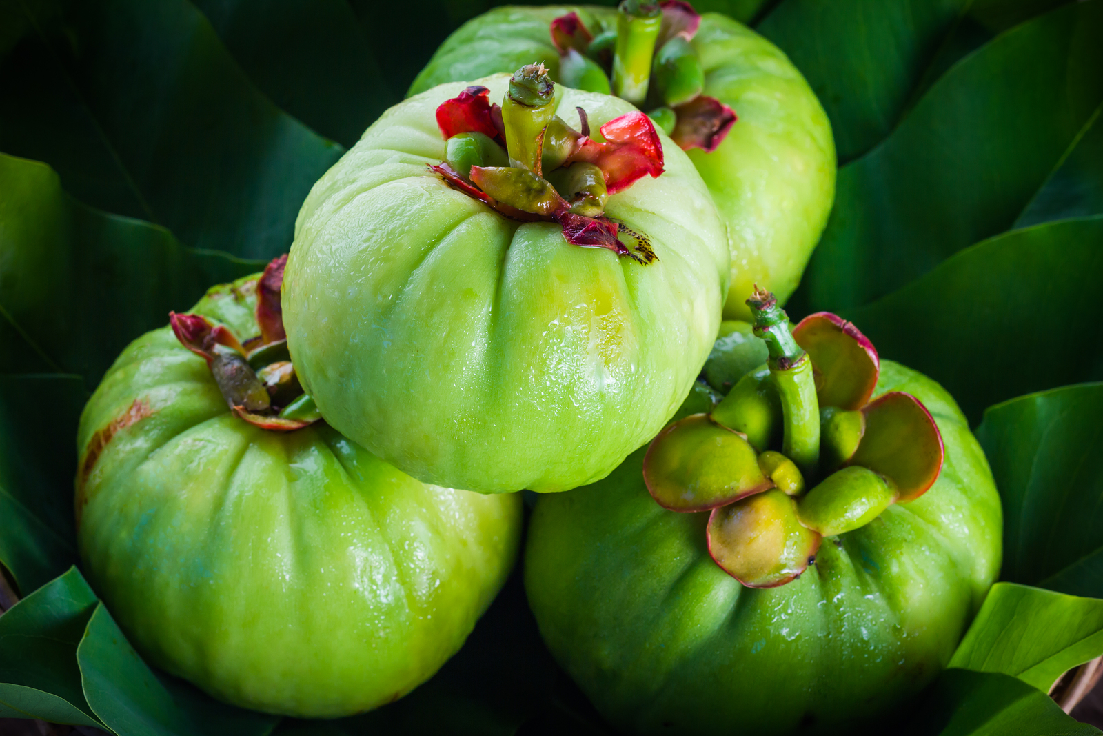 Still life with fresh garcinia cambogia on leaf background. Garcinia is thai herb (south of Thailand) and sour flavor lots of vitamin C. Low key picture style.Closeup